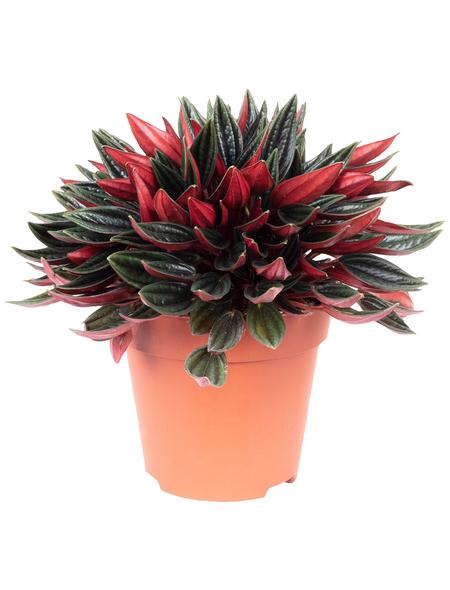 Zwergpfeffer, Peperomia rosso, Topf-Ø: 12cm