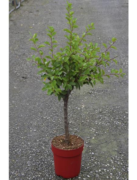 GARTENKRONE Zwergpflaume, Prunus domestica, Früchte: süß, zum Verzehr geeignet