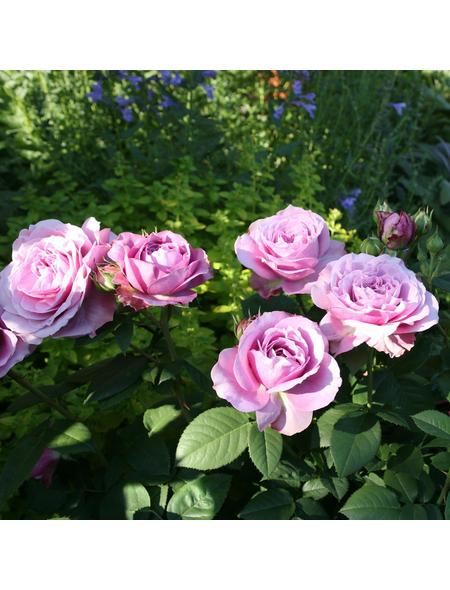 ROSEN TANTAU Zwergrose Rosa hybride »Lavender Ice«