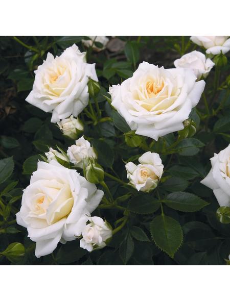 ROSEN TANTAU Zwergrose Rosa x hybrida »Honeymilk«, Weiß