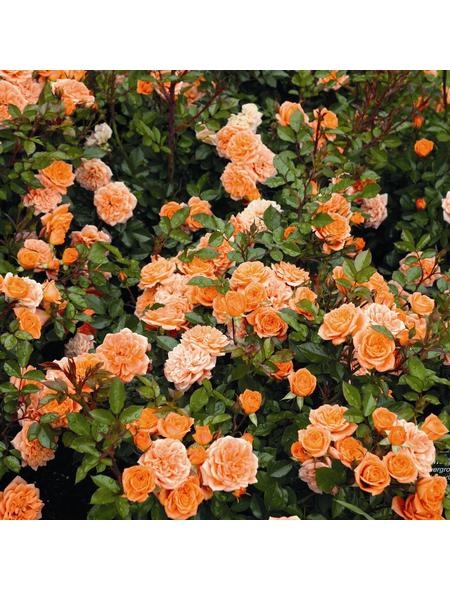 ROSEN TANTAU Zwergrose, Rosa X hybride »Ninetta«, Dunkelorange