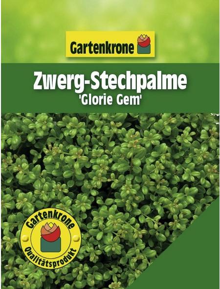GARTENKRONE Zwergstechpalme, Ilex crenata »Glorie Gem«, weiß, winterhart