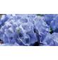 , Topf: 23 cm, Farbe: flieder-Thumbnail