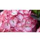 , Topf: 23 cm, Farbe: pink-Thumbnail