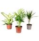 3er-Set Zimmerpflanzen 3er-Set Zimmerpflanzen Chamaedorea, Dieffenbachie, Dracaena, max. Wuchshöhe: 120  cm, mehrjährig-Thumbnail