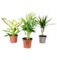 3er-Set Zimmerpflanzen Chamaedorea, Dieffenbachie, Dracaena, Chamadorea, im Topf-Thumbnail