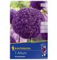 KIEPENKERL Allium Ambassador, Lila, 1 Stück-Thumbnail