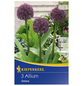 KIEPENKERL Allium Ostara, Lila, 3 Stück-Thumbnail