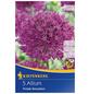 KIEPENKERL Allium Purple Sensation, Lila, 5 Blumenzwiebeln-Thumbnail