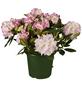 GARTENKRONE Alpenrose Rhododendron  »Brigitte«-Thumbnail