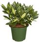 GARTENKRONE Alpenrose, Rhododendron »Brigitte«, rosa, winterhart-Thumbnail