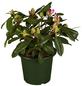 GARTENKRONE Alpenrose Rhododendron  »Diadem«-Thumbnail