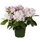GARTENKRONE Alpenrose Rhododendron  »Gomer Waterer«-Thumbnail