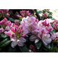GARTENKRONE Alpenrose, Rhododendron »Gomer Waterer«, violett, winterhart-Thumbnail
