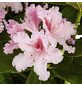 GARTENKRONE Alpenrose Rhododendron  »Le Progres«-Thumbnail