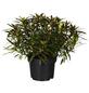 GARTENKRONE Alpenrose Rhododendron ponticum »Graziella«-Thumbnail