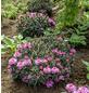 GARTENKRONE Alpenrose, Rhododendron ponticum »Graziella«, rosa/pink, winterhart-Thumbnail
