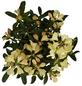GARTENKRONE Alpenrose Rhododendron  »Westerstede«-Thumbnail