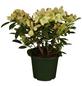 GARTENKRONE Alpenrose, Rhododendron »Westerstede«, gelb, winterhart-Thumbnail