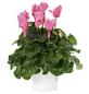 Alpenveilchen, Cyclamen persicum, max. Wuchshöhe: 15 cm, Blüte: bunt-Thumbnail