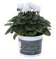 Alpenveilchen, Cyclamen persicum, max. Wuchshöhe: 30 cm, Blüte: weiß-Thumbnail