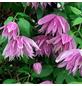 GARTENKRONE Alpenwaldrebe, Clematis alpina, Blüten: hellblau-Thumbnail