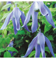GARTENKRONE Alpenwaldrebe, Clematis alpina »Frances Rivis«, Blüten: hellblau-Thumbnail
