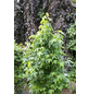 Amberbaum, Liquidambar styraciflua-Thumbnail