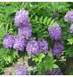 GARTENKRONE Amerikanischer Blauregen, Wisteria frutescens »Longwood Purple«, violett, winterhart-Thumbnail