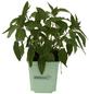 Ananassalbei, Blüten: rot-Thumbnail
