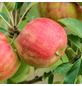 GARTENKRONE Apfel, Malus domestica »Braeburn«, Früchte: süß, zum Verzehr geeignet-Thumbnail