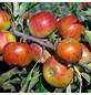 GARTENKRONE Apfel, Malus domestica »Cox Orange«, Früchte: süß-säuerlich, zum Verzehr geeignet-Thumbnail