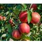 GARTENKRONE Apfel, Malus domestica »Elstar«, Früchte: süß, zum Verzehr geeignet-Thumbnail