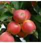 GARTENKRONE Apfel, Malus domestica »Gala«, Früchte: süß, zum Verzehr geeignet-Thumbnail