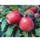 GARTENKRONE Apfel, Malus domestica »Gloster«, Früchte: sauer, zum Verzehr geeignet-Thumbnail