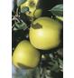GARTENKRONE Apfel, Malus domestica »Golden Delicious«, Früchte: gelb, süß-Thumbnail