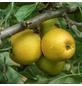 GARTENKRONE Apfel, Malus domestica »Goldparmäne«, Früchte: süß, zum Verzehr geeignet-Thumbnail
