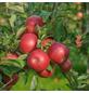GARTENKRONE Apfel, Malus domestica »Idared«, Früchte: süß, zum Verzehr geeignet-Thumbnail