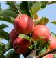 GARTENKRONE Apfel, Malus domestica »Pilot«, Früchte: süß-säuerlich, zum Verzehr geeignet-Thumbnail