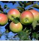 GARTENKRONE Apfel, Malus domestica »Reglindis«, Früchte: süß, zum Verzehr geeignet-Thumbnail