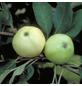 GARTENKRONE Apfel, Malus domestica »Weisser Klarapfel«, Früchte: gelb, süß-säuerlich-Thumbnail