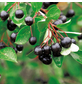 GARTENKRONE Apfelbeere Aronia melanocarpa-Thumbnail