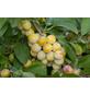 GARTENKRONE Aprikose, Prunus armeniaca »Nancy«, Früchte: süß, zum Verzehr geeignet-Thumbnail
