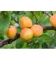 GARTENKRONE Aprikose, Prunus armeniaca »Ungarische Beste«, Früchte: süß, zum Verzehr geeignet-Thumbnail