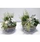 GARTENKRONE Arrangement, Betonschale weiss/schwarz, herbstlich bepflanzt, Durchmesser: 25 cm-Thumbnail
