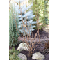 Aufrechte Korkenzieherhasel, Corylus avellana »Twister«-Thumbnail