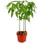 GARTENKRONE Australische Kastanie Castanospermum australe-Thumbnail