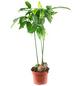 GARTENKRONE Australische Kastanie, Castanospermum australe, im Kunststoff-Kulturtopf-Thumbnail