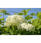 GARTENKRONE Ball-Hortensie, Hydrangea arb. »Annabelle«, weiß, winterhart-Thumbnail