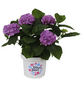 Ballhortensie macrophylla Hydrangea »Diva fiore«-Thumbnail